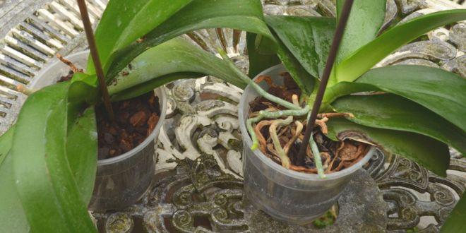 59 best images about plantes et fleurs d 39 int rieur on - Quand rempoter une orchidee ...