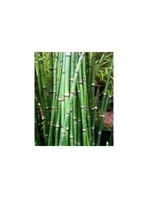 Equisetum hyemale robustus - Prêle de lhymalaya