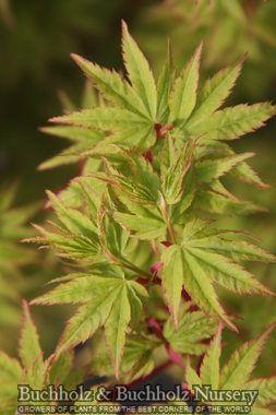 Acer Palmatum Little Sango Leaf Detail