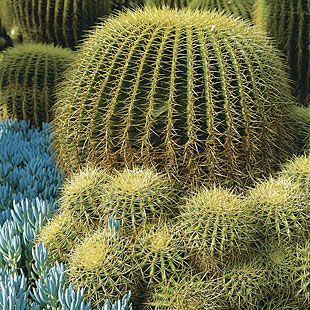 Echinocactus grusonii - Golden Barrel Cactus up to 1.5' x 2', yellow flowers in spring, full or partial sun.