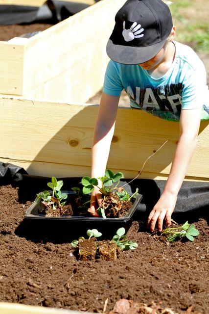 Mansikat ovat lasten suosikkeja! Mansikkamaan voi perustaa vaikka viljelylaatikkoon tai jopa ruukkuihin.