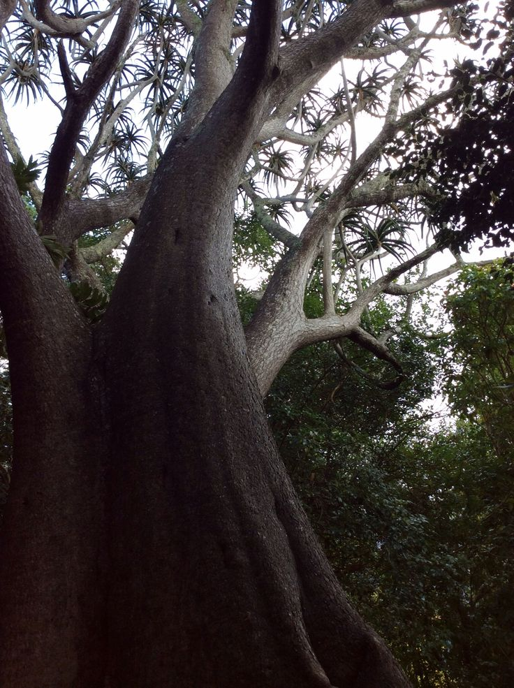 Biggest Aloe Tree I've seen - Kirstenbosch Cape Town 2014