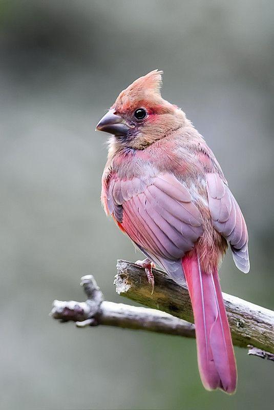 Pink Tinged Birdie…gotta love a natural PINK animal! | (B ...  |Pink Baby Birds