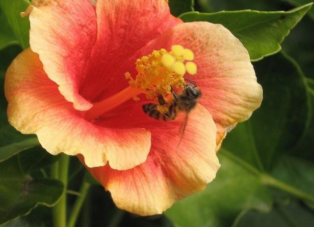 dark peach hibiscus flower with bee   flower - hibiscus