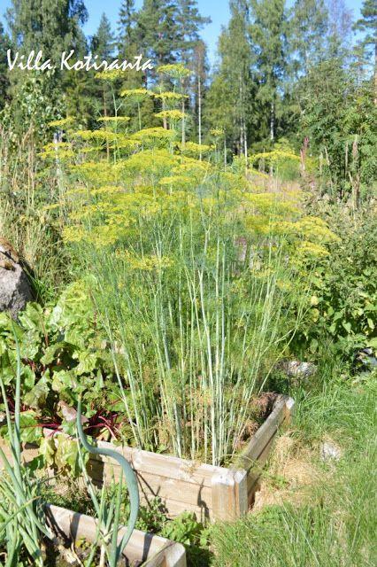 Kotipuutarhani. Kasvatuslaatikko / My home garden. Frame from wood for planting.