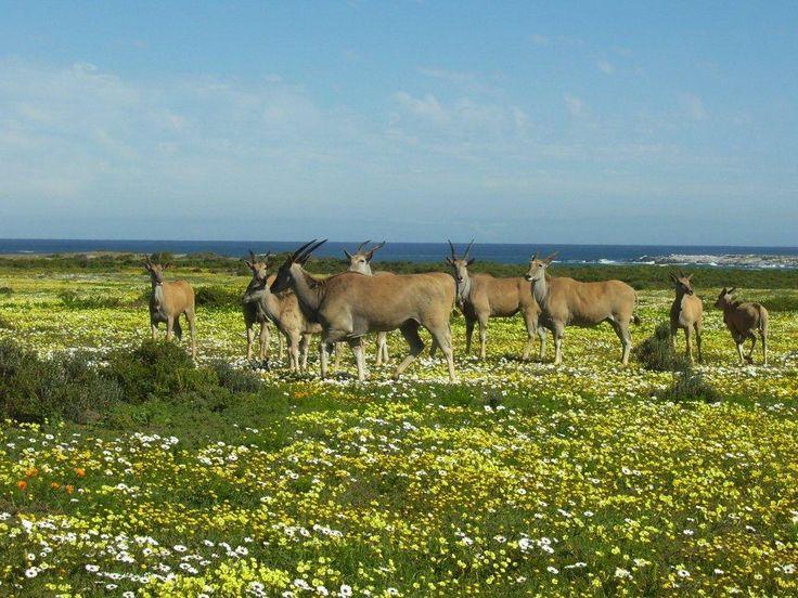 Eland graze the park land