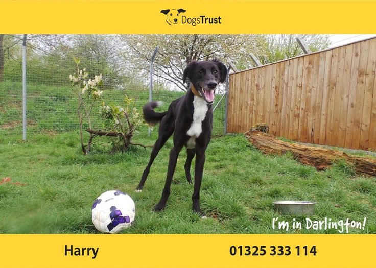 Harry at Dogs Trust Darlington is a real fan of his toys and would play forever given the chance.  Harry is a social friendly boy who meets everyone nicely. Harry will suit owners used to the breed and the fun they bring to your home. Harry will need some training as he can get rather over excited around other dogs whilst out on a walk which can lead to problems - Dogs Trust trainers can advice on this. Harry could potentially live with another dog and with children aged around 11yrs.