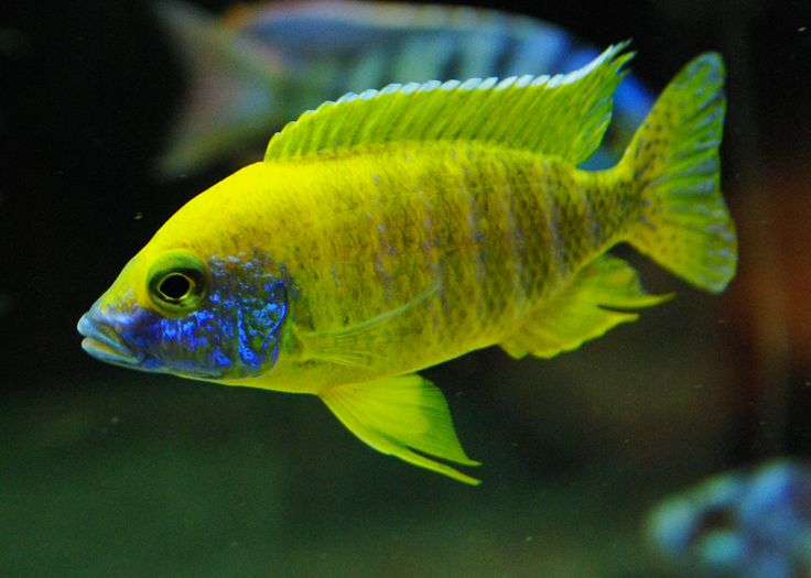 Image result for Peacock Cichlid