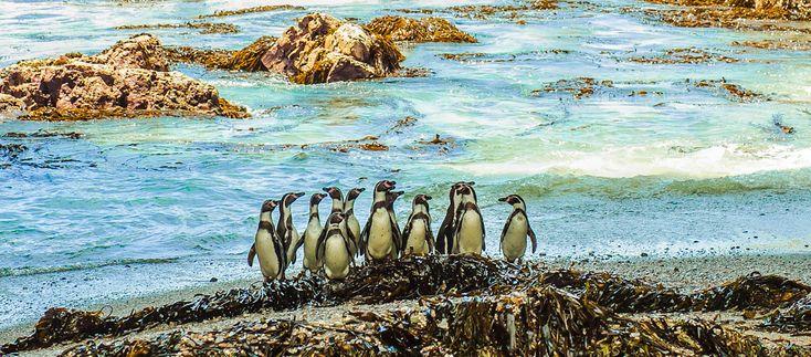 La Reserva Nacional Punta San Juan alberga la colonia de pingüinos de Humboldt más grande de la costa peruana.