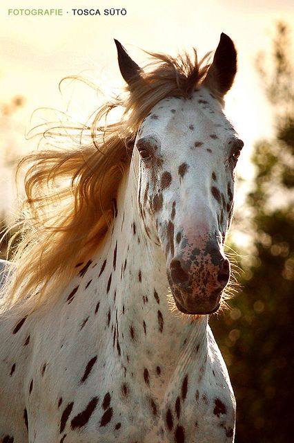 •♥•✿ڿڰۣ(̆̃̃•Aussiegirl  #Horses Beautiful Appaloosa