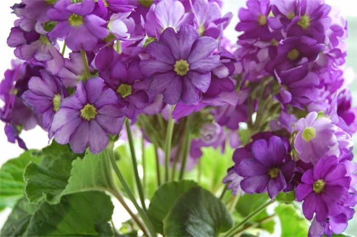 Prímula en flor - Primrose in bloom