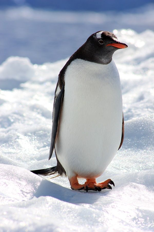 17 best images about penguins on pinterest for Penguin and fish