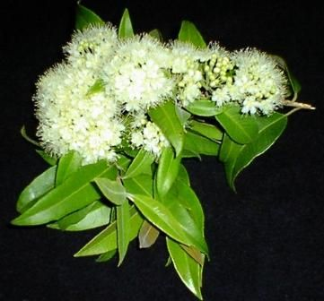 Lemon myrtle tree, native Australian tree the leaves are used for tea and for beauty products especially in soap. We can't live without it, excellent for sore throats as an herbal tea, mix in 2 teaspoons manuka honey and a squeeze of fresh lemon juice. Infuse the leaves for just 5 minutes, if you leave it too long its too strong. I use it for adding to surface cleaning sprays as its has potent antibacterial properties. Keep pruned, as it grows into a massive tree.