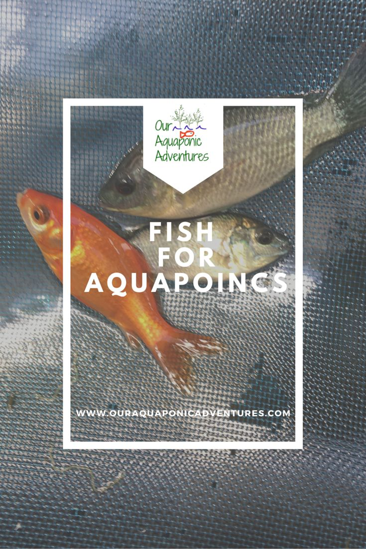 The Tilapia are Here! Deciding on fish,getting them added to your tank can be stressful.  Read all about how it went for us and who we purchased them from.