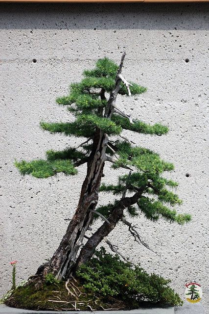 Bonsaï & Penjing - Tamarack 140 yrs C20050701106 at the Tree House by fotoproze on Flickr.