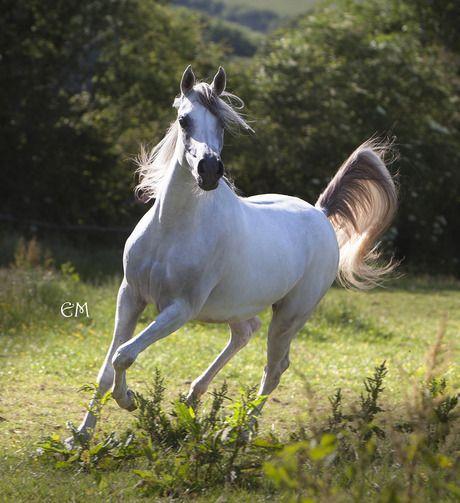 SG Hon Fleur Image (SG Imagine x Haiti Shaklana) 2012 grey mare