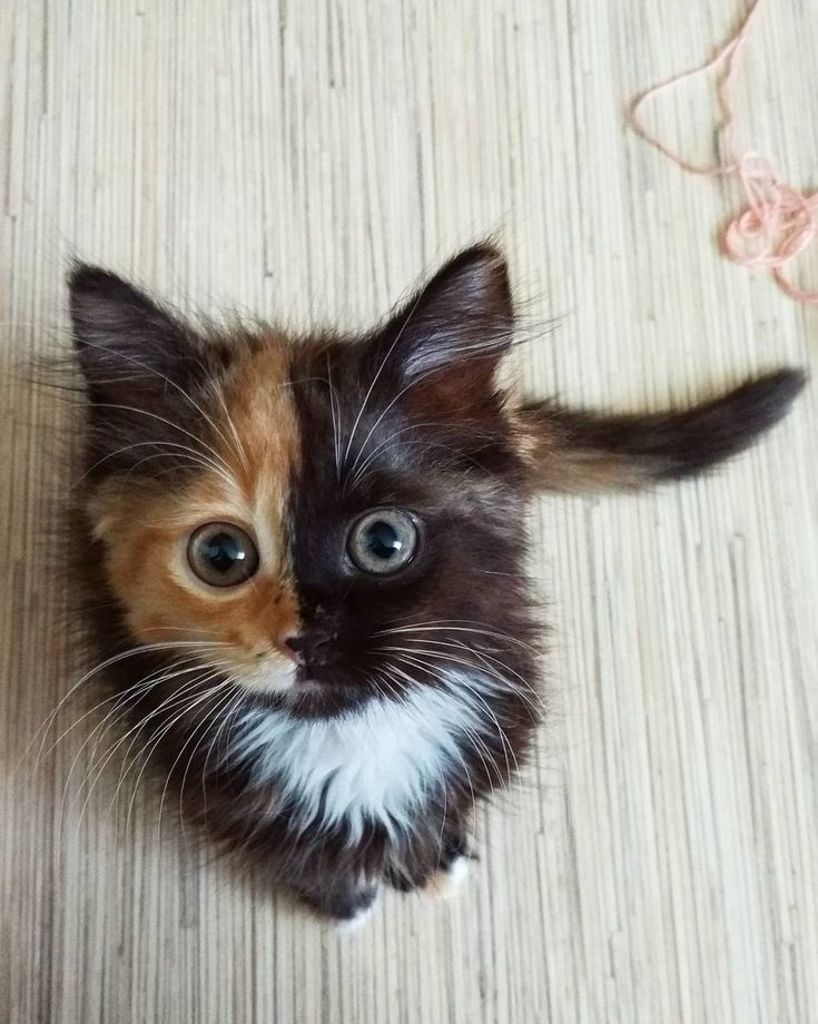 3х-цветная кошка-найденыш Яна из Минска-звезда Instagram)). Photo @yanatwofacecat #womanslook. Tricolored cat-foundling Jana from Minsk. Star of Instagram.
