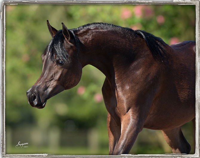 Bellagio RCA | Egyptian Arabian Horses - Arabians LTD.