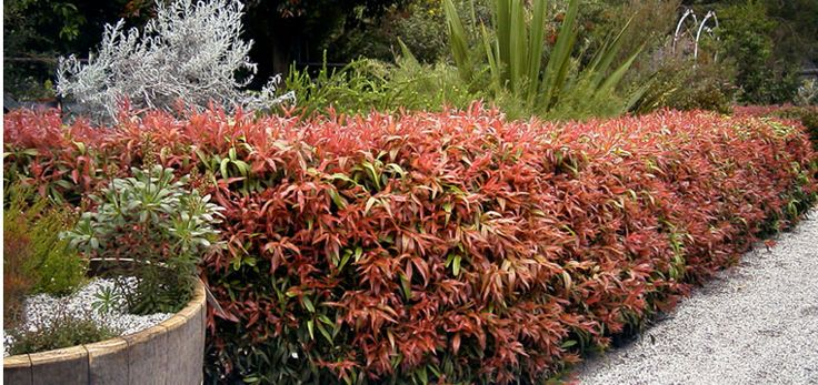 """Callistemon """"Great balls of fire"""". Australian Native hedge - my new venture for the front of the house!!"""