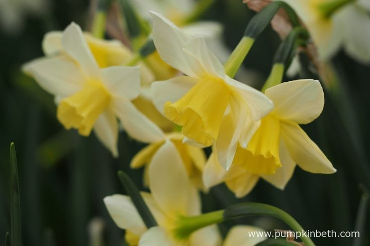 Narcissus 'Pueblo' pictured during my 2017 Scented Daffodil Trial.