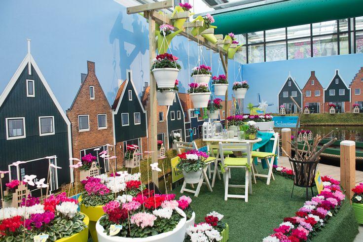 cyclamen Veranda Selections at Flower Trials 2016