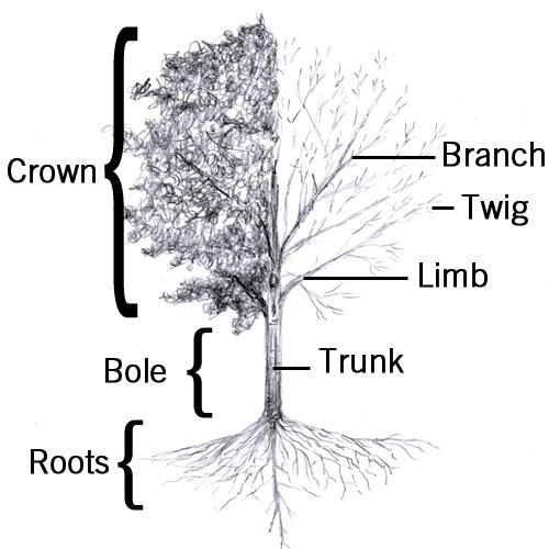 tree trunk branch diagram tree trunk stem diagram