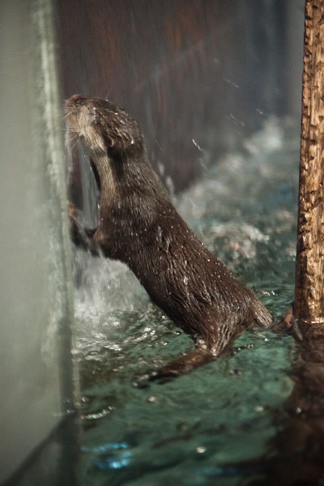 Otter Leans into the Waterfall on the Window 2