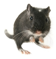 Google Image Result for http://www.aspca.org/pet-care/small-pet-care/~/media/Files/pet-care/images-misc-sizes/grey-gerbil.ashx