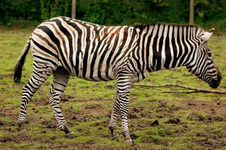 an introduction and background of the plains zebra The quagga (/ ˈ k w ɑː x ɑː / or / ˈ k w æ ɡ ə /) (equus quagga quagga) is an extinct subspecies of plains zebra that lived in south africa until the 19th century it was long thought to be.