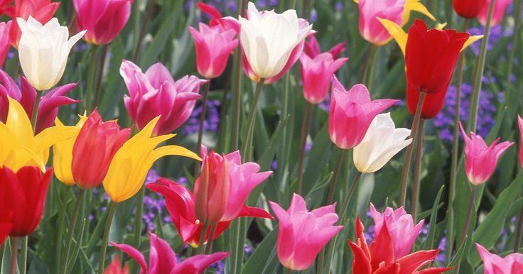 Los más hermosos tipos de tulipanes. La belleza es subjetiva, especialmente cuando se refiere a las flores. Los tulipanes se encuentran entre las plantas de bulbo más cultivadas y admiradas de todo el mundo debido a su abundante floración de primavera y a los cientos de variedades que presentan prácticamente todos los colores. A través de siglos de cultivo especialmente en los Países ...