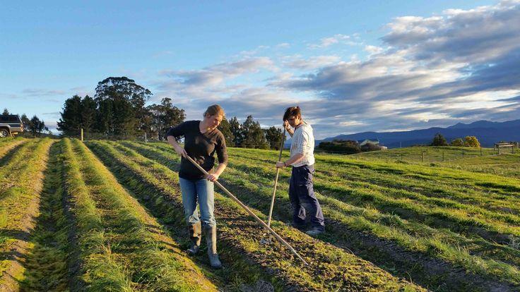 Hoeing the saffron beds - #Crocussativus #Farming McKenzie's Foods