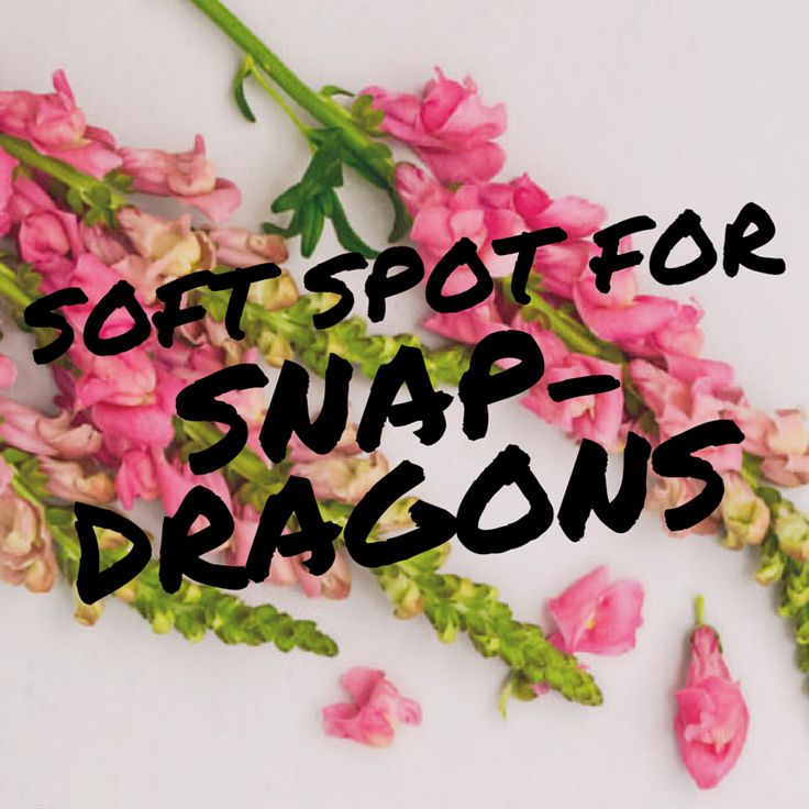 Snapdragons can be gorgeously sophisticated paired with hydrangeas in an urn shaped vase, or whimsical and pretty teamed with dahlias, carnations, ranunculus or poppies, softly spilling out of vintage jars.