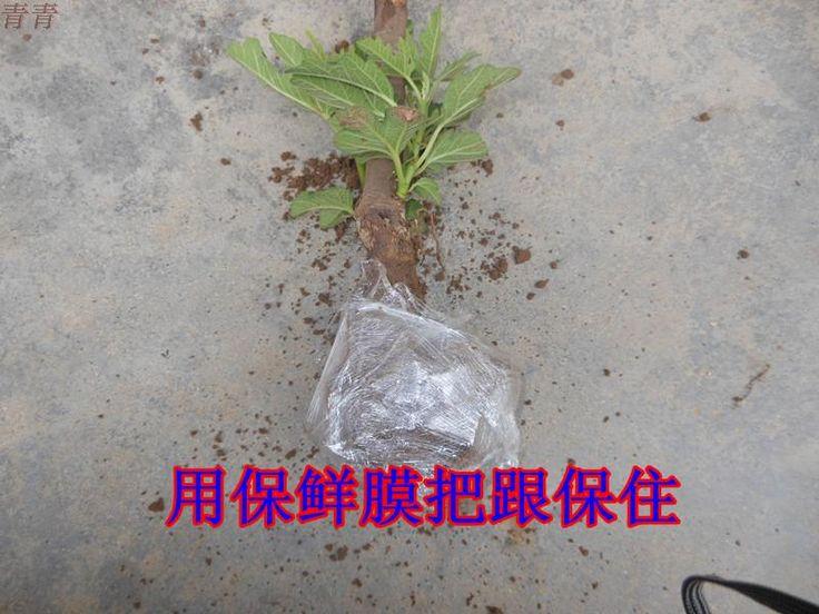 Таобао Тайвань предлагает патио в горшках фруктовых деревьев, саженец инжира…