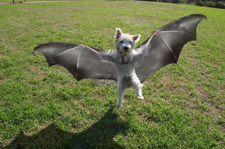 What Breed Of Dog Is Batdog