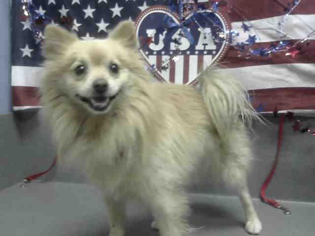 Pomeranian dog for Adoption in Moreno Valley, CA. ADN-605869 on PuppyFinder.com Gender: Male. Age: Adult