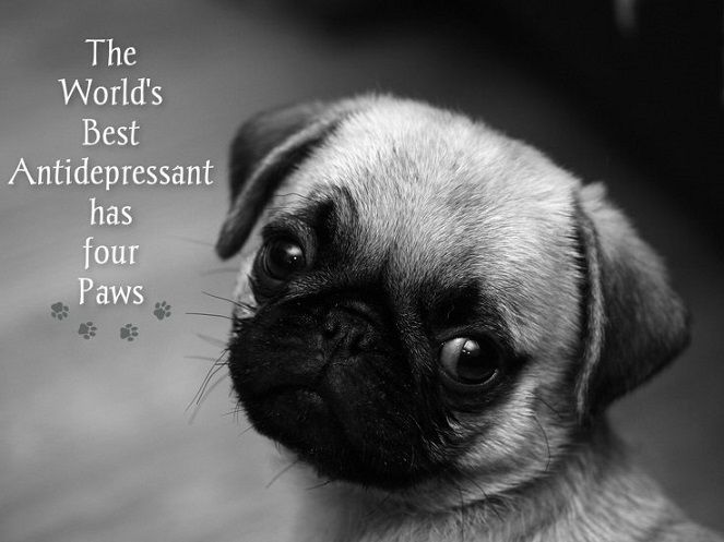 Funny Pug Dog Meme Pun LOL. This one's not funny, it's TRUE! #Pug