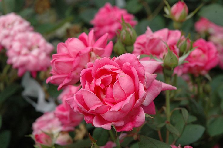 Click to view full-size photo of Pink Double Knock Out Rose (Rosa 'Pink Double Knock Out') at Stein Gardens & Gifts