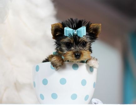 Teacup Yorkies For Sale, Teacup yorkie dogs Florida …