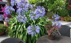 Agapanthus: Pflege und Überwinterung - Die blauen oder weißen Blütenbälle des Agapanthus zieren im Sommer Balkone und Terrassen. So bleibt die pflegeleichte Kübelpflanze in Blühlaune.