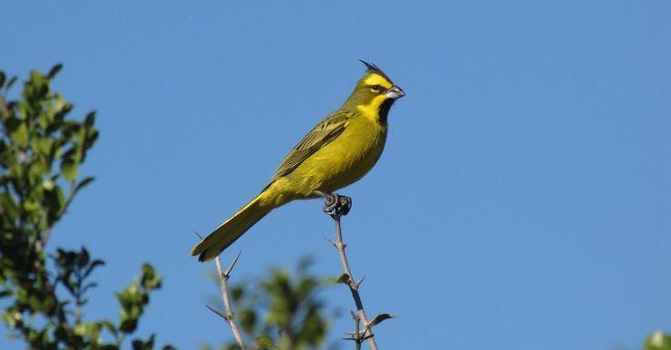 """O cardeal-amarelo (""""Gubernatrix cristata"""") é uma espécie só encontrada no bioma do Pampa, no Sul do Brasil. A plumagem vistosa e o canto agradável tornam a espécie uma das mais cobiçadas pelo mercado ilegal de pássaros silvestres, diz relatório do ICMBio"""