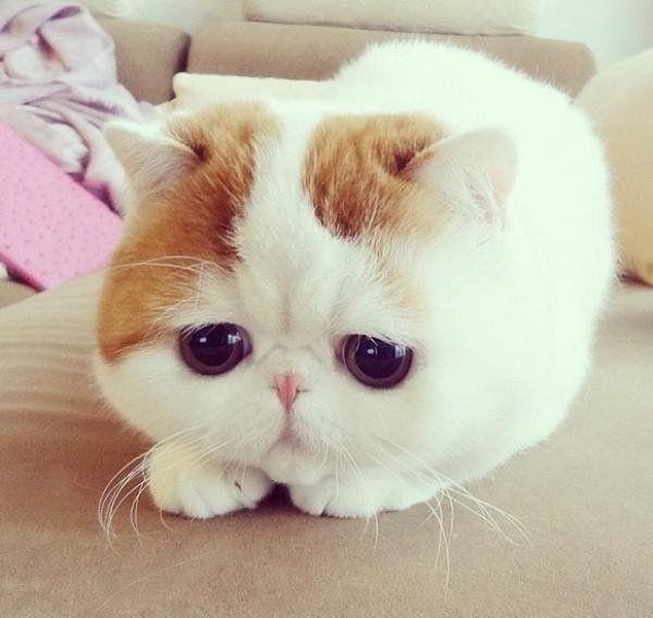 Les 25 meilleures id es de la cat gorie chat munchkin sur - Prix chat munchkin ...