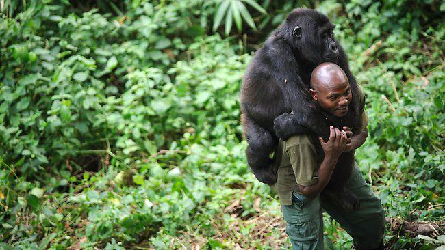 Give an endangered mountain gorilla a piggy back. Where: Congo. When: Quick. #beforeyoureboring #bucketlist #dieselbucketlist