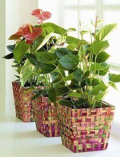 Луковая шелуха ... на подоконникеЛечит луковая шелуха не только многочисленные заболевания человеческого организма. Это целительное средство и для растений....на подоконникеЕсли комнатные цветы «погру…