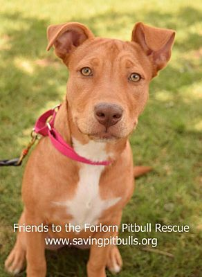 Pictures of Queeny a Pit Bull Terrier for adoption in Dallas, GA who needs a loving home.