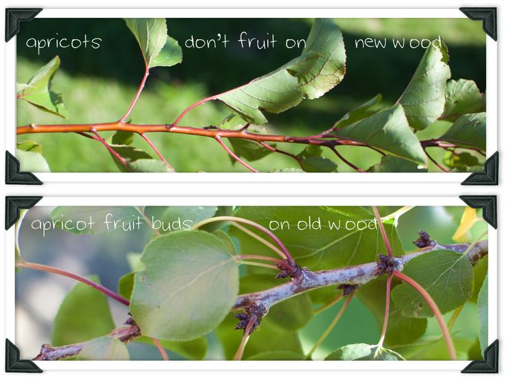 Learn how to prune an apricot tree in your own garden for maximum fruit production