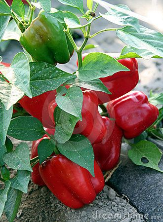 Pepper Plant Spray: A great way to help along your pepper plant blossoms in setting fruit is to add a bit of epsom salts to a spray bottle and spray it directly onto the leaves and buds as they are just developing. Epsom salts contain magnesium which pepper plants need to produce healthy peppers.
