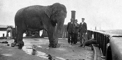 An elephant is transported across Sydney Harbour on a barge to the new Taronga Park Zoo in 1916. Photo: Taronga Park Zoo