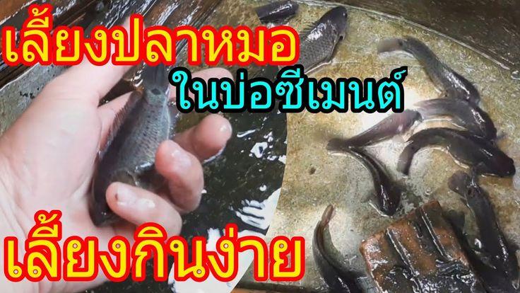 เล ยงปลาหมอในบ อป นซ เมนต เล ยงก นง าย ทนต อสภาพน ำ มาด ปลาหมอ 2 เด อนก นคร บ จะโตแค ไหน Youtube กบ ก ง