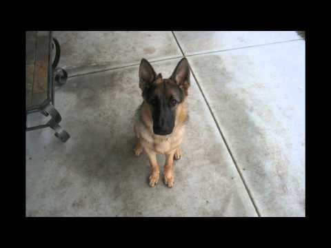 Time Lapse of a German Shepard from Puppy to Adult