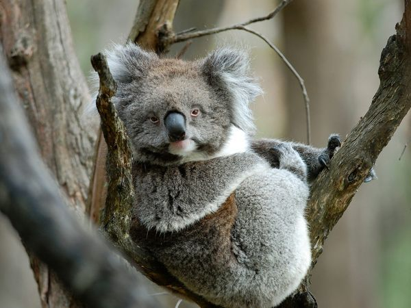 Koala in an Adelaide Tree.  Who's knows, you might see one get drunk and fall out of the tree. Its a fact.  These little guys like to get drunk.
